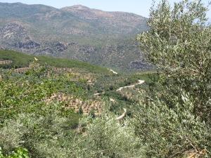 Olive trees near Agios Nikolaus, Greece